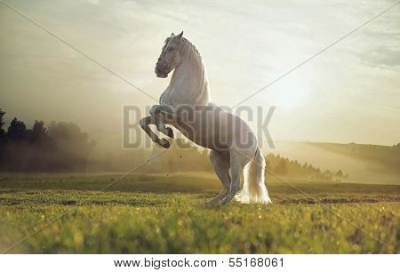 Beautiful white horse
