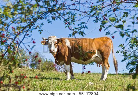 Cow on a mountain meadow at mount Bobija