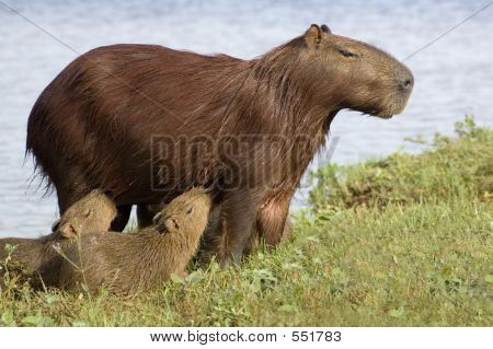 Carpincho (Capibara) Feeding Her Young
