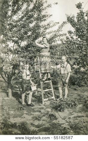GANSERNDORF, AUSTRIA, CIRCA 1930s: Vintage photo of farmers family picking fruits in orchard, Ganserndorf, Austria, circa 1930s