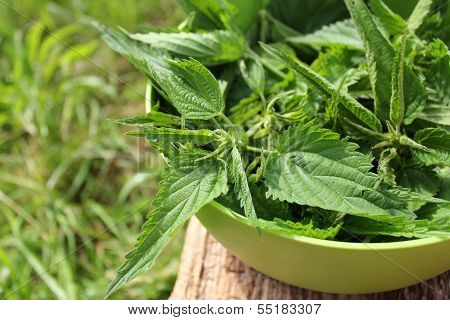 Freshly stinging nettles in bowl ready for cooking