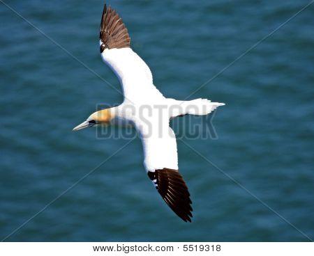 Northen Gannet Bird In Flight