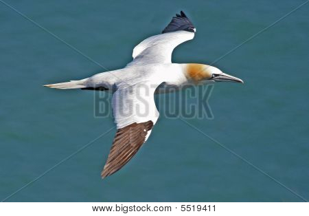 Northern Gannet Bird In Flight