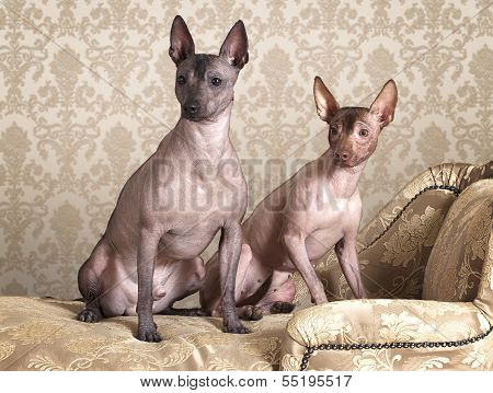 Mexican Xoloitzcuintle Dogs On A Antique Couch