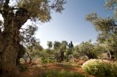 stock photo of gethsemane  - Ancient olive trees in the Garden of Gethsemane - JPG