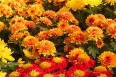 pic of chrysanthemum  - A variety of bright colorful Chrysanthemums in the garden - JPG