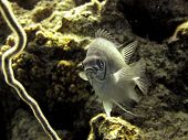 image of damselfish  - A pale damselfish hovers - JPG