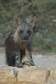 picture of hyenas  - Brown Hyena at waterhole in Kgalagadi Transfrontier Park in Southern Africa - JPG