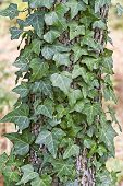 stock photo of english ivy  - Close upof english ivy climbing up the trunck of a dogwood tree - JPG