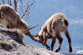 Two Alpine Ibex Fighting In French Alps, France