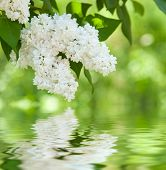 stock photo of orchard  - white flower lilac reflected in water - JPG