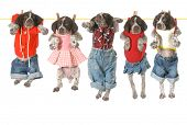 stock photo of clotheslines  - puppies on a clothesline  - JPG