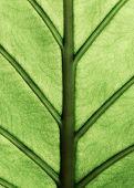 stock photo of elephant ear  - Giant Taro plant leaf also known as - JPG