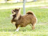 picture of chihuahua  - A small young beautiful chocolate and cream brown long coated Chihuahua standing on the lawn - JPG