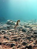 foto of seahorse  - A thorny seahorse swims over rubble and coral - JPG