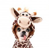 picture of long tongue  - a cute chihuahua in a costume - JPG