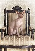 stock photo of mexican-dog  - Portrait of Mexican xoloitzcuintle dog posing on an antique chair - JPG