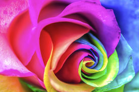 image of rare flowers  - Abstract Multicolor Rainbow Rose Close Up Macro - JPG