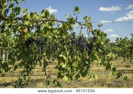 Grapes for wine making, grape growing.