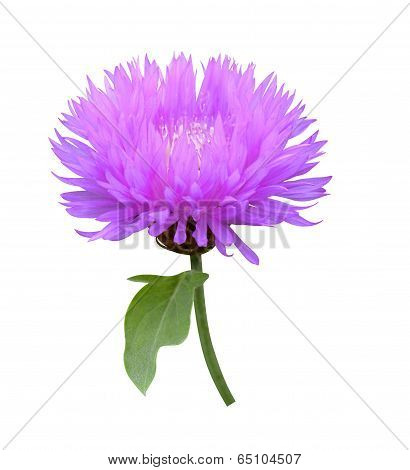Milk thistle Cirsium medical plant isolated