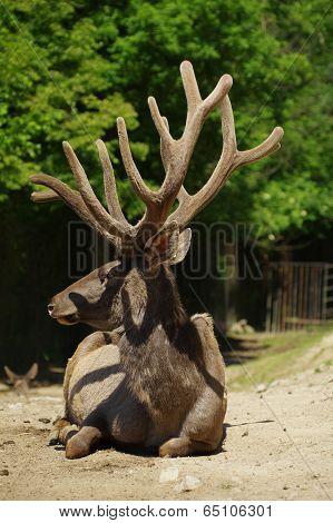 Deer Wapiti Siberian