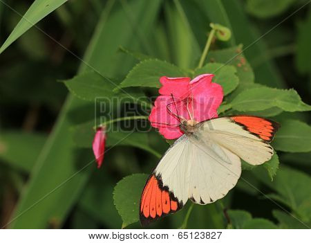 butterfly,Great orang tip,Hebomoia glaucippe formosana