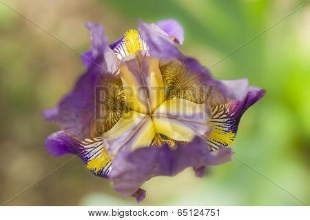 Detail Of Iris Flower