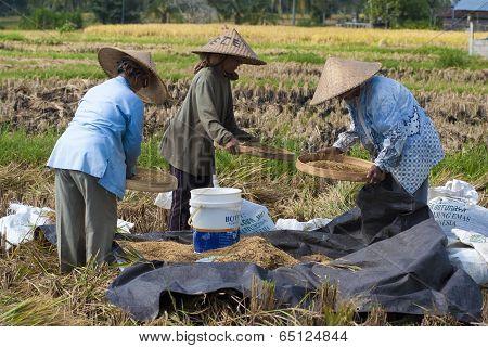 Rice Winnowing In Bali, Indonesia