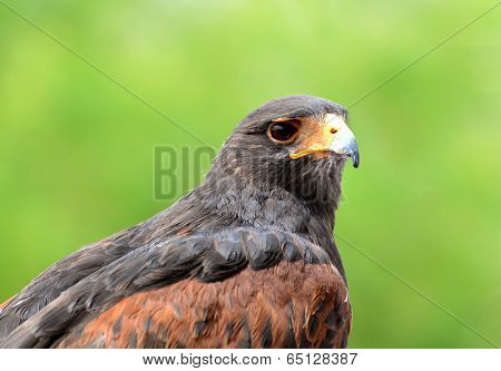 Portrait of a Harris's hawk