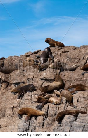 South American Fur Seal Colony In Ushuaia, Patagonia