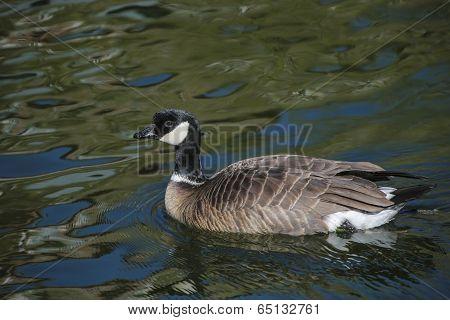 Barnacle Goose In Shimmering Water