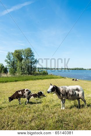 Grazing Sheep On A Dike