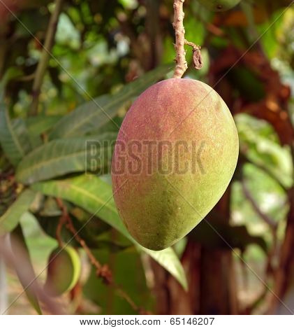 Large Mango Fruit On Tree