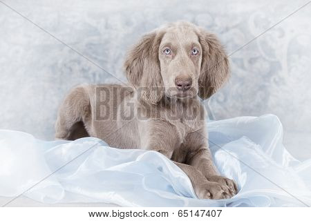 Longhaired Weimaraner Puppy