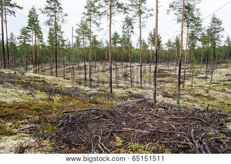 Pine Trees On Lichen Covered Sand Dunes. Lichen Is Mostly Cladonia Stellaris.