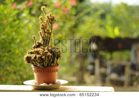 Cactus in the Pot