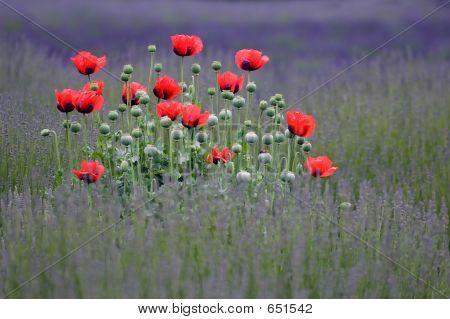 Poppy Flowers Island