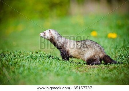 adorable ferret pet outdoors