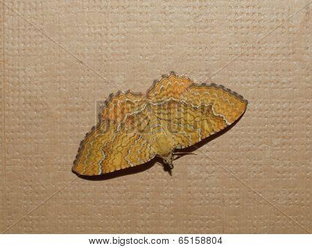 Moth Butterfly