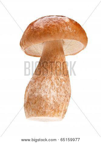 Autumn cep mushroom