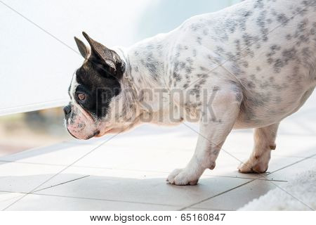 French bulldog watching neighbourhood from the balcony