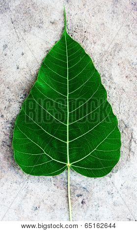 Dark Green Bodhi Or Sacred Fig Leaf