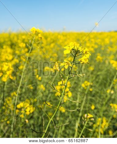 Closeup Of Yellow Flowering Rapeseed Plants