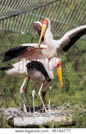 Group Of Yellow-billed Stork (mycteria Ibis)