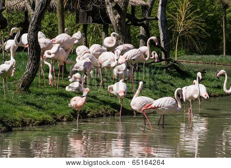 Group Of Greater Flamingos (phoenicopterus Ruber Roseus)