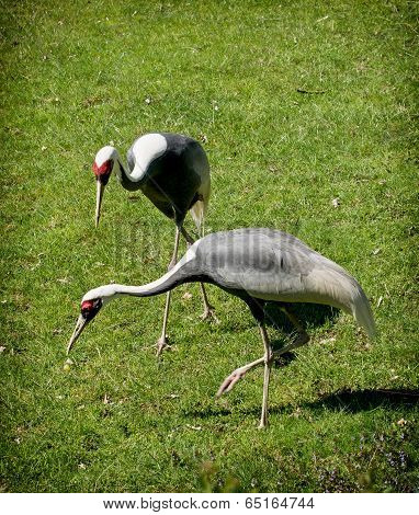 White-naped Crane (grus Vipio)