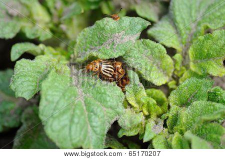 Attack Of Colorado Bugs On The Potato Bush