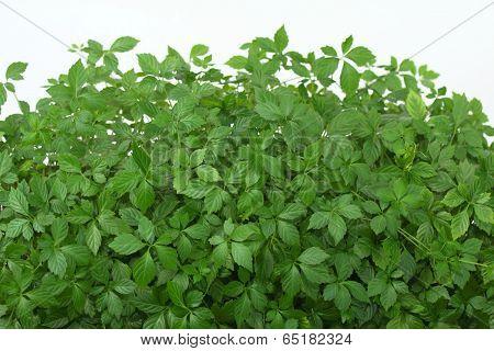 Jiaogulan   /gynostemma Pentphyllum/