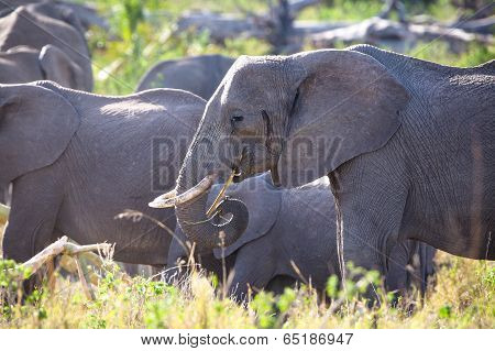 Group of large elephants eating in Serengeti