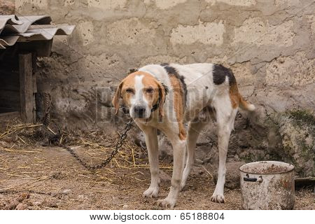 Old Hunting dog